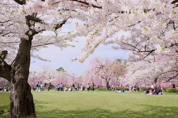 桜の宴.jpg